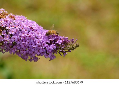 Honey bee gathers pollen from a summer lillac