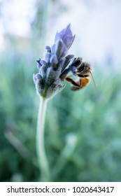 Honey bee getting nectar from lavender bloom
