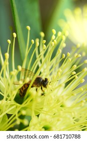 Honey Bee harvesting pollen from yellow Blossom