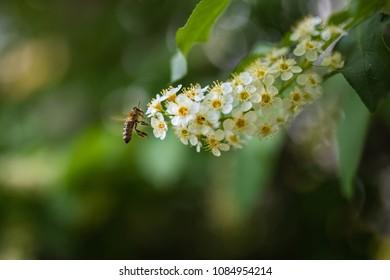 Honey bee landing on flower