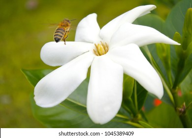 Honey Bee landing on Tiare Maori flower in Rarotonga, Cook Islands. The Honeybee Introduced  to the Cook Islands by European explorers that arrived to the Islands around 1876.