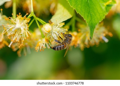 Honey bee in Linden Flowers, Apis Carnica in Linden Flowers, close up of Bumble bee collecting nectar, honey, bee pollinating