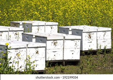 Honey bee nest boxes at a field of Sinapis Alba, Yellow mustard being grown for seed in the Willamette Valley in Oregon