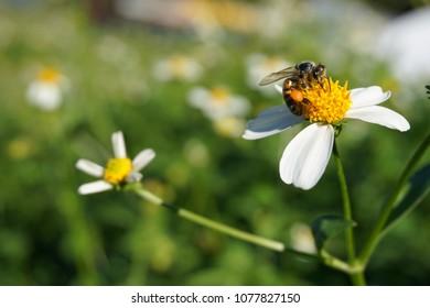 Honey bee on Bidens alba in Florida