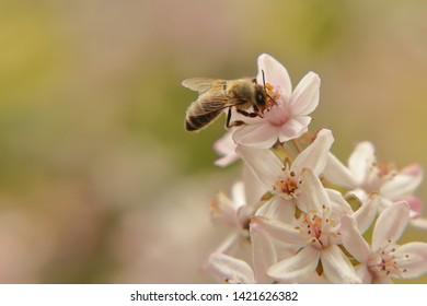 Honey bee on a blooming Deutzia