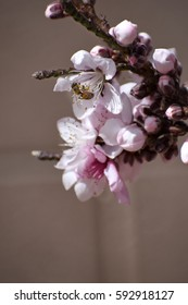 Honey bee on blossoming branch of bonfire peach tree