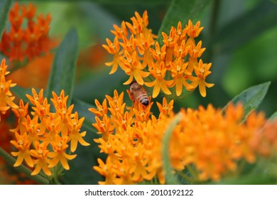 A honey bee on butterfly weed flowers