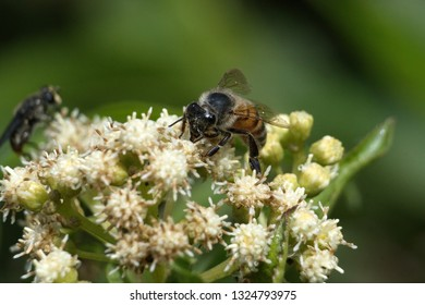 Honey bee on a cluster of white flowers in Cotacachi, Ecuador