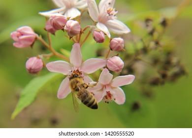 Honey bee on a flower of Deutzia