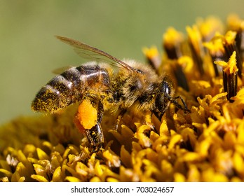Honey bee on flower with pollen