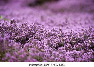 Honig Biene auf Blütenthaus im Sommergarten. Thymus vulgaris Faustini Pflanze. Italienische Thymian-Blüte. Thymian blüht im Kräutergarten. Thyme Lila Blumen, Makro, Nahaufnahme-Banner