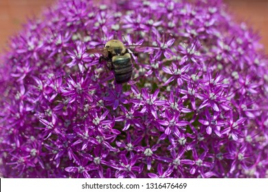 Honey bee on a giant allium flower. Tiny intricate flowers on thin hollow stems inside rounded shape of the allium plant in spring.