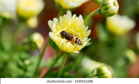 Honey bee on  Guldaudi Flower Chrysanthemum