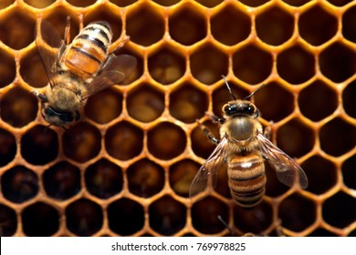 Honey Bee on the hive in Southeast Asia.