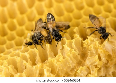 honey bee on honeycomb background.