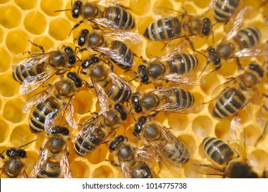 Honey Bee on honeycomb. Close-up of bees on honeycomb in apiary in the summer.