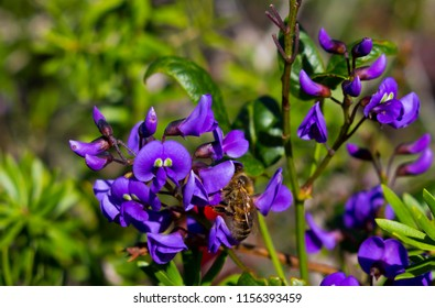 Honey bee on  iconic West Australian purple wild flower creeper Hardenbergia Violaceae  with its weeping habit in glorious bloom in early  winter adds color to the bush, garden and  park lands.