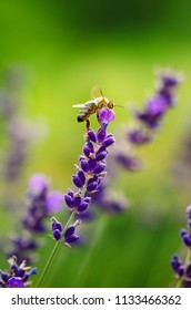 Honey bee on a lavender and collecting polen. Flying honeybee. One bee flying during sunshine day. Insect. Lavenders field with beautiful sunlight.