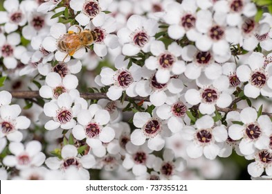Honey Bee on Manuka flower collecting pollen and nectar to make manuka honey with medicinal benefits