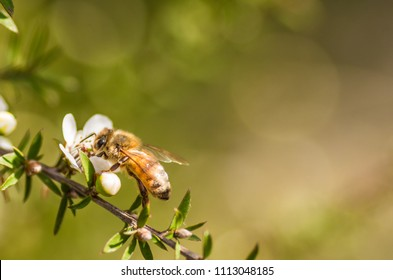 Honey bee on Manuka from which manuka honey with medicinal values is from
