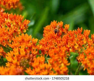 Honey bee on  orange butterfly weed