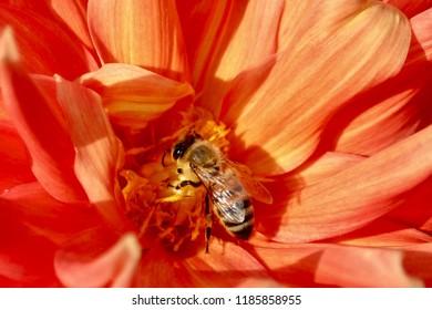 Honey Bee on Orange Dahlia, closeup, macro, isolate