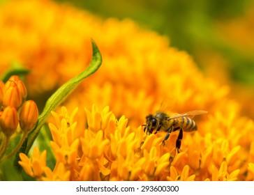 Honey Bee on Orange Hawkweed (Devil's Paintbrush)