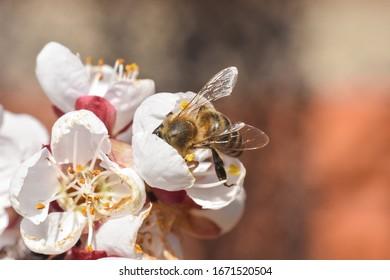 Honey bee on peach flower. Spring background, honey bee pollinating