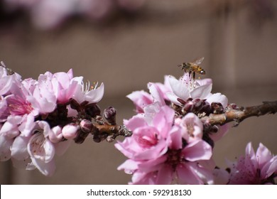 Honey bee on peach tree blossoms