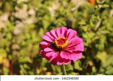 Honey Bee on Pink Zinnia