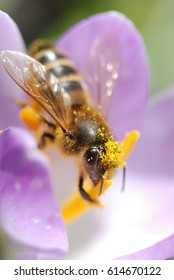 A honey bee on a purple crocus collecting nectar from a yellow stamen whilst covered in pollen