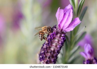 Honey bee on purple flower