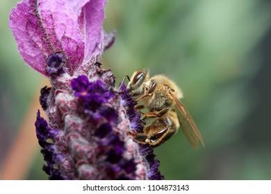 Honey bee on purple flower close-up