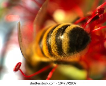 honey bee on red color flower in its pollen with blurred backgrounds