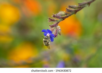 Honey bee on a small blue flower close-up. Wild bee pollination.