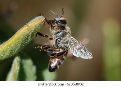 Honey bee on succulent green plant