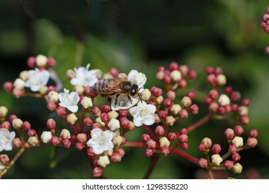 honey bee on viburnum flower caprifoliaceae apis mellifera showing white pollen sac and very close up with viburnum buds