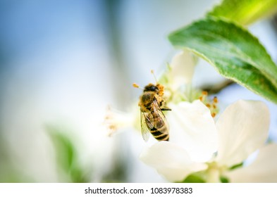 Honey bee on a white flower and collecting polen. Flying honeybee. One bee flying during sunshine day. Insect.