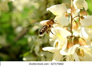 honey bee on the white flower of acacia - Robinia pseudoacacia; closeup