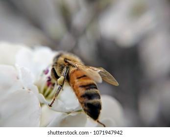 honey bee on white flowers