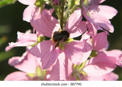 Honey Bee on Wild Flower, with large pollen sacks on his legs