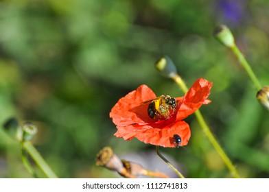 Honey bee on wild poppy flower. Bee pollinating poppy flower on meadow