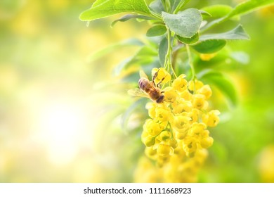 Honey bee on yellow flower collect pollen.