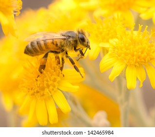 Honey Bee on Yellow Flower, Close Up Macro