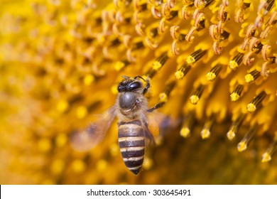 honey bee on yellow flower, close up macro  - selective focus