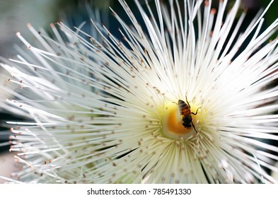 Honey bee with pollen of white flowers.