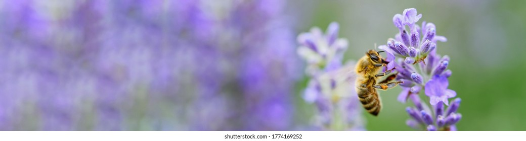 Honey bee pollinates lavender flowers. Plant decay with insects., sunny lavender. Lavender flowers in field. Soft focus, Close-up macro image wit blurred background.