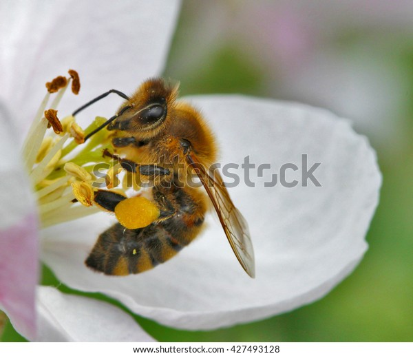 Honey bee pollinating apple blossom