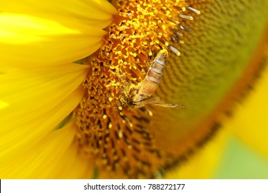 Honey bee pollinating covered with pollen looking down in flower. The animal is sitting on a flower in summer or autumn time. Many little orange pollen on its body. Important environment and ecology.