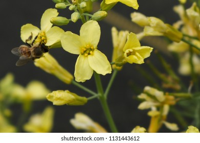 Honey bee pollinating flower at a farm in Conroe, TX.